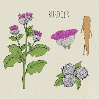 우엉 의료 식물 격리 된 그림입니다. 식물, 뿌리, 잎, 꽃이 만발한 손으로 그린 세트. 화려한 빈티지 스케치.