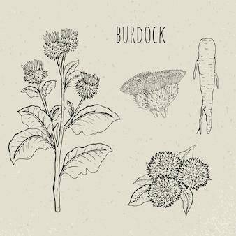 우엉 의료 식물 격리 된 그림입니다. 식물, 뿌리, 잎, 꽃이 만발한 손으로 그린 세트. 빈티지 스케치.