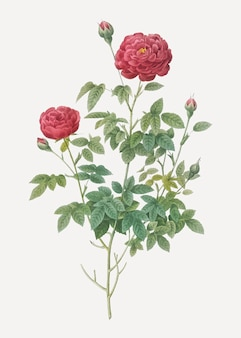 Burgundy cabbage rose in bloom