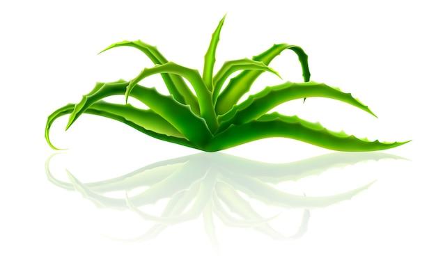 Куст алоэ вера. растение используется в косметике и медицине.