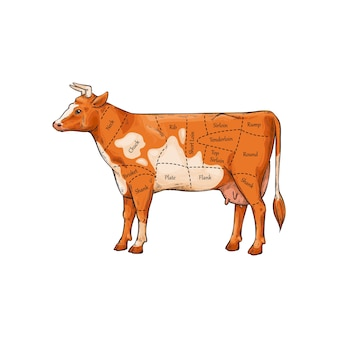 Butcher diagram and scheme of beef cutting parts with explaining inscriptions.