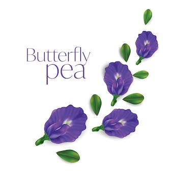 Butterfly pea flower isolated