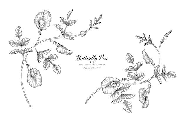 나비 완두콩 꽃과 잎 손으로 그린 식물 삽화가 라인 아트로 그려져 있습니다.