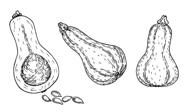 버터 넛 스쿼시 스케치 세트. 손으로 그린 개체입니다. 병 모양의 butternut 호박과 흰색 배경에 컷된 한 야채 그림입니다. 자세한 채식 음식. 농산물 시장 제품. 세트.