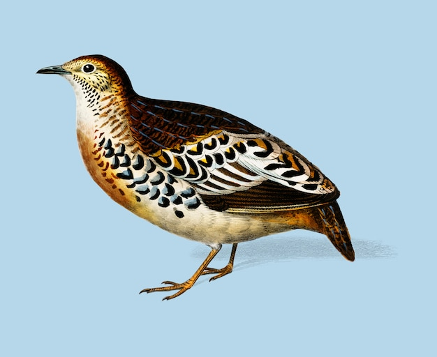 Buttonquail (curnix tachydrome) illustrated by charles dessalines d'orbigny (1806-1876).