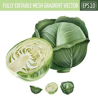 Cabbage illustration on white