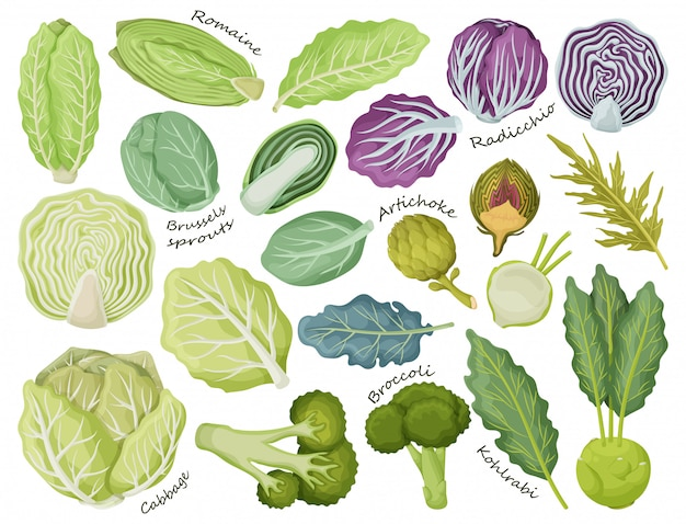 Cabbage of lettuce cartoon set icon.