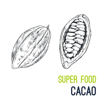 Cacao beans. super food hand drawn