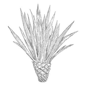 선인장 블루 아가베. 빈티지 벡터 블랙 해칭 그림입니다. 흰색 배경에 고립