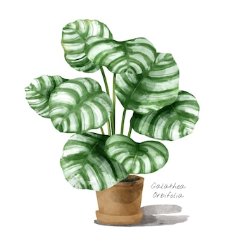 Calathea orbifolia 잎 흰색 배경에 고립