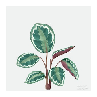 Calathea roseopicta 잎 흰색 배경에 고립