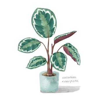 Calathea roseopicta leaf isolated on white background