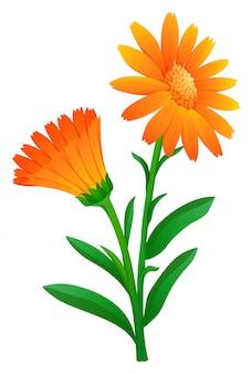 オレンジ色のカレンデュラ
