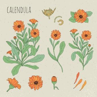 カレンデュラ医療植物イラスト。植物、花、花びら、葉、種子手描きセット。