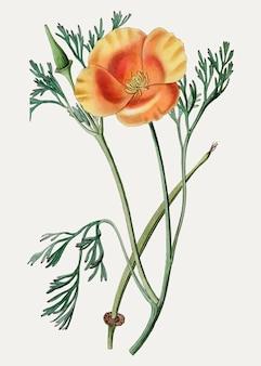 California poppy branch