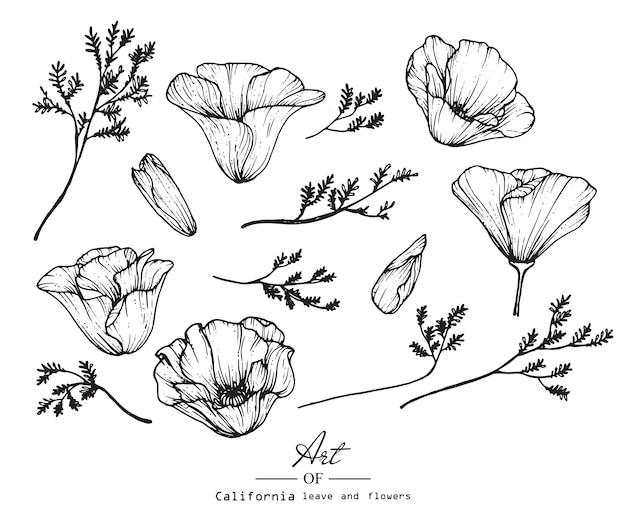 California poppy flower and leaf drawing