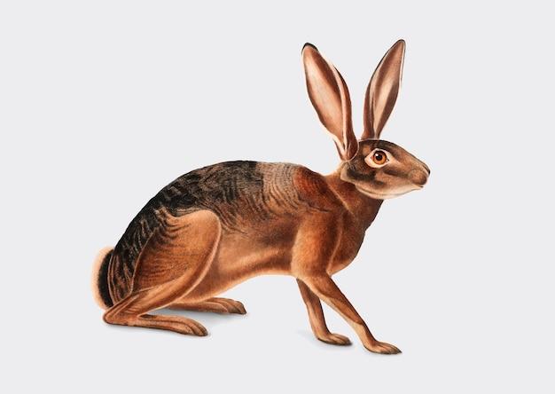 Californian hare illustration