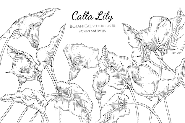 オランダカイウユリの花と葉は、白い背景の上のラインアートで描かれた植物のイラストです。