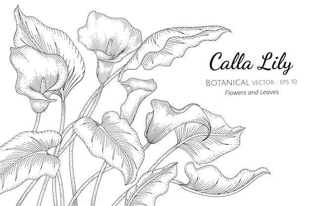 칼라 백합 꽃 손에 그려진 식물 그림