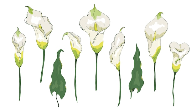 Calla lily flower or zantedeschia, isolated on white background. floral elements calla for summer design.