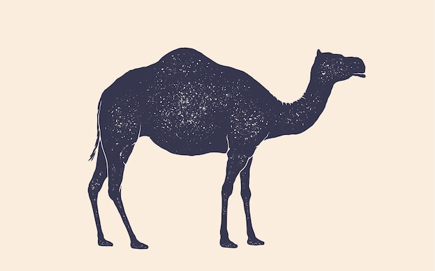 Camel, dromedary. vintage retro print, black white camel drawing, grunge old school style. isolated black silhouette camel on white background. side view profile. vector illustration