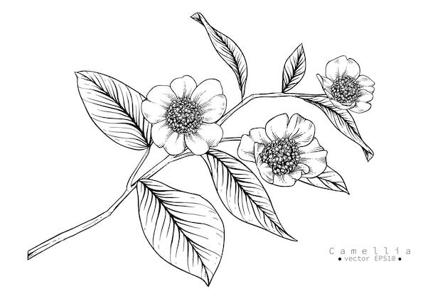 Camellia flower drawings. botanical illustration