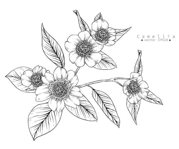 Camellia flower drawings