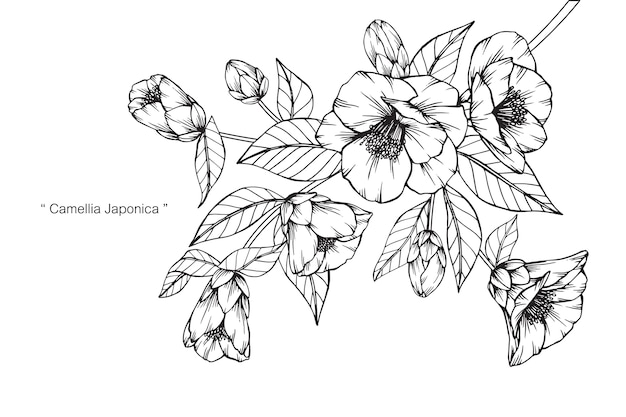 Camellia japonica flower drawing illustration