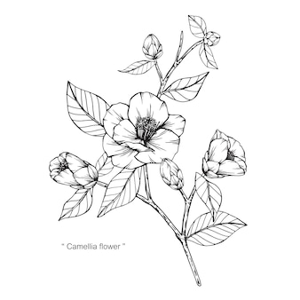 Camellia japonica flower drawing illustration.