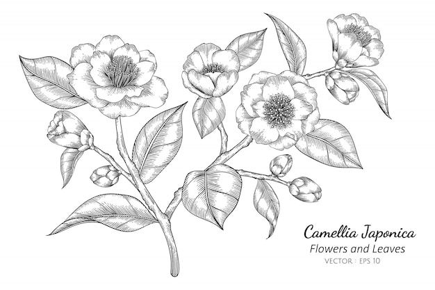 Camellia japonica flower and leaf drawing illustration with line art on white backgrounds.