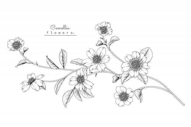 Camellia leaf and flower drawings