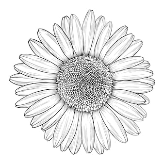 Camomile or daisy flower