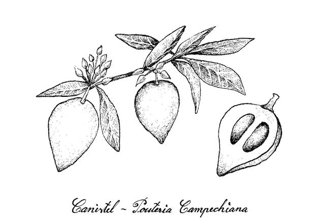 白い背景の上のcanistelフルーツの手描き