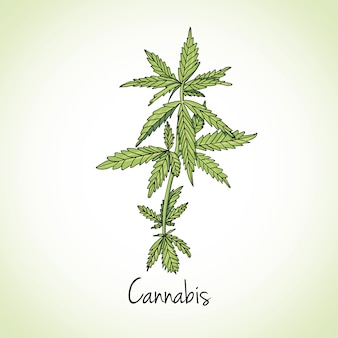 大麻ハーブ。ハーブやスパイス