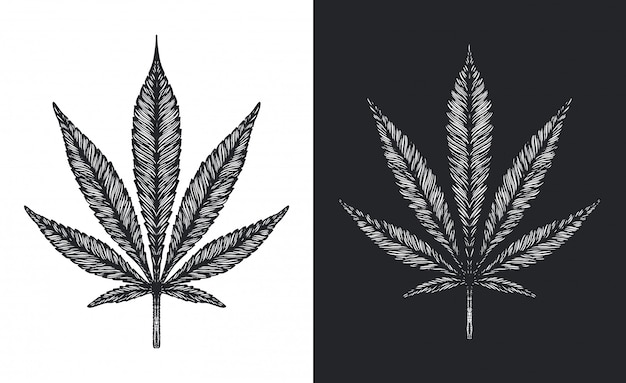 Premium Vector Cannabis Or Marijuana Leaves Vector Sketch