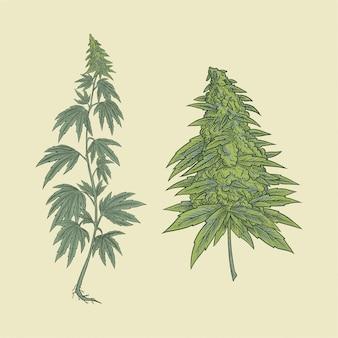 大麻植物と花