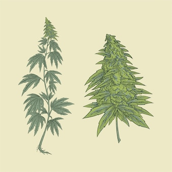 Cannabis plant and flower