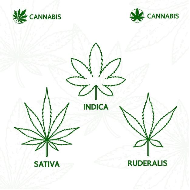 대마초 sativa indica와 루데랄리스 잎 벡터 일러스트 레이 션