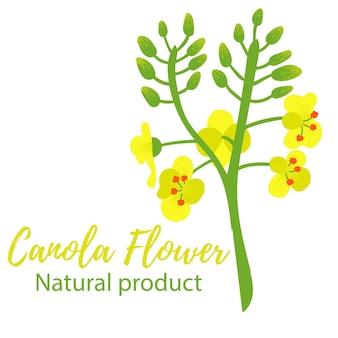 Цветок канолы канола желто-зеленые цвета натуральный продукт