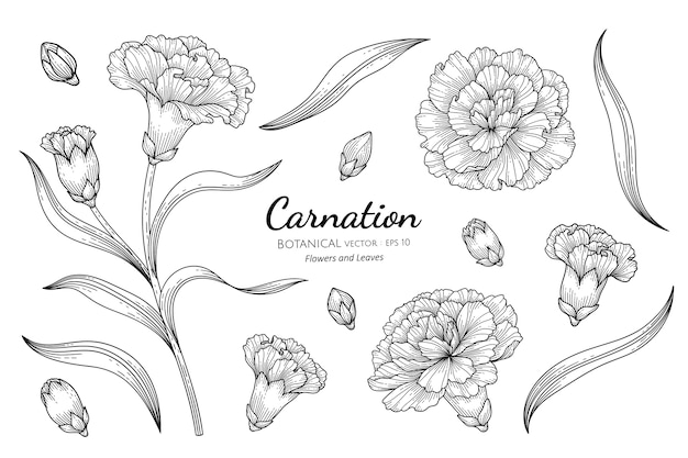 카네이션 꽃과 잎 식물 손으로 그린 그림.