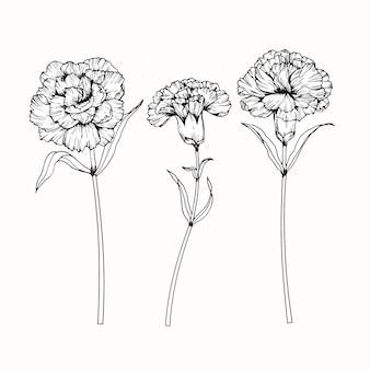 Carnation flower drawing illustration