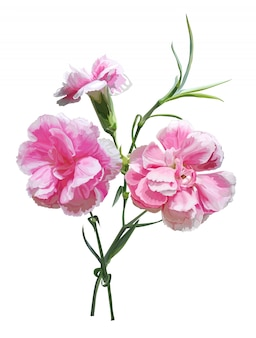 Carnation flower isolated illustration