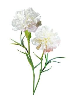 白で隔離されるカーネーションの花