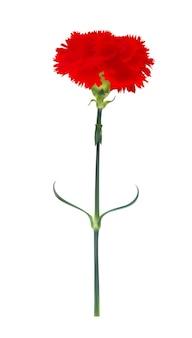 分離されたカーネーションの花