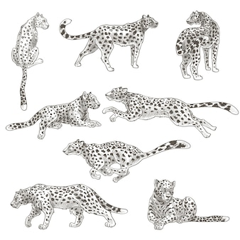 Carnivore wild mammal, isolated leopard or cheetah
