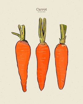 Carrot, hand draw sketch  .