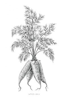 Морковь ручной рисунок гравюра иллюстрации на белом фоне