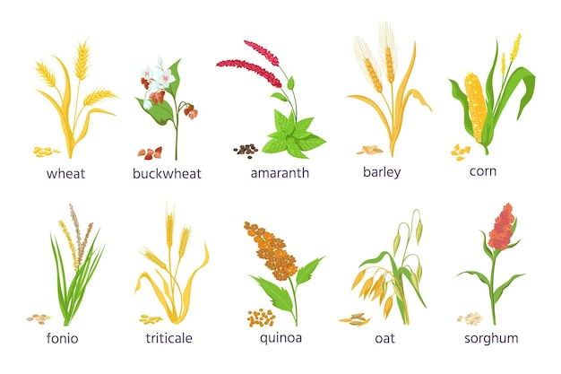 Cartoon farm cereal crops and grain grass plants. agriculture corn, wheat, maize, buckwheat, amaranth and quinoa seeds and ears vector set. illustration of grain and seed, barley and wheat