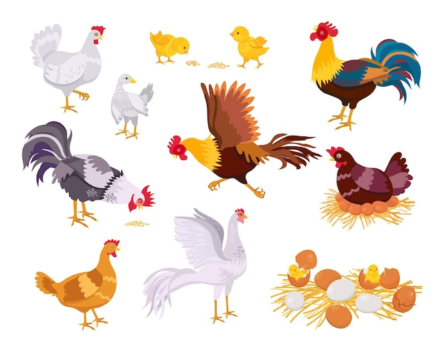 Cartoon farm chicken family, rooster, hen and chicks. flat domestic bird eat, run and sit on eggs. nest with chick. poultry grow vector set. hatched eggshells with newborn babies in countryside