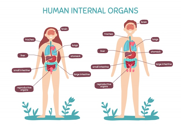 Cartoon human body anatomy. male and female internal organs, humans physiology chart  illustration
